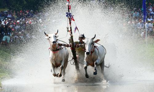 Hội đua bò miền biên viễn