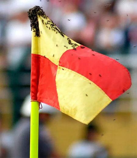 Đàn ong bu vào lá cờ trên sân. Ảnh: AFP