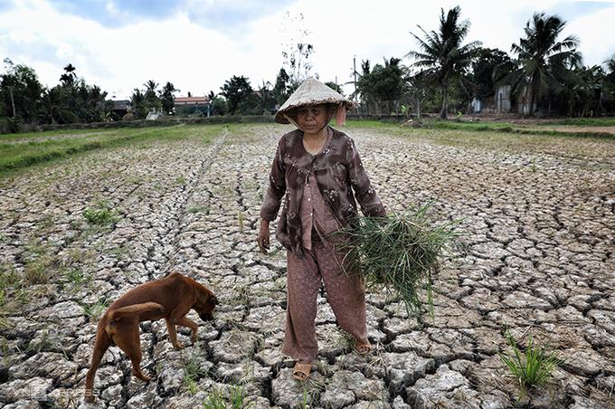 Bà Lê Thị Hí, 72 tuổi, ở huyện Ba Tri, Bến Tre nhổ cỏ cho bò ăn trên cánh đồng khô nứt nẻ. Ảnh: Hữu Khoa.