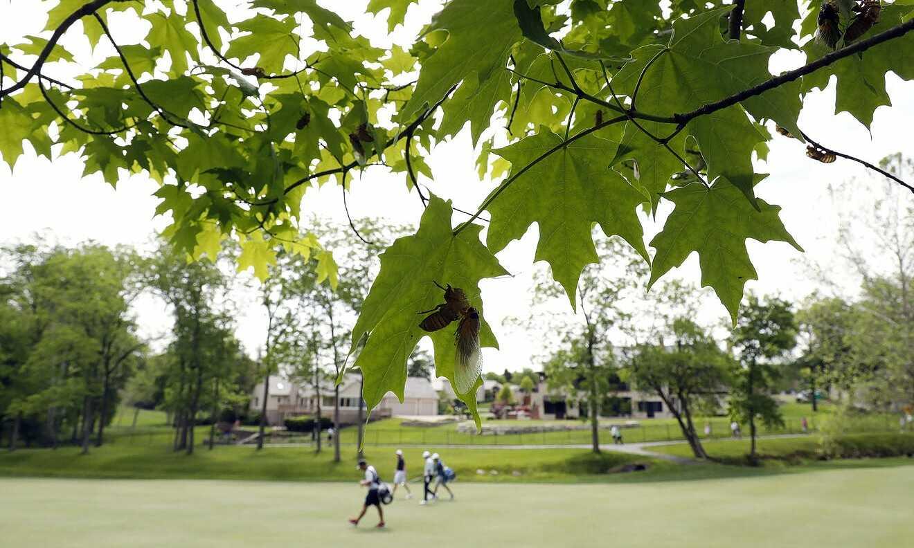 Dàn hợp xướng ve sầu sinh sống trên các tán cây là một đặc sản ở sân Muirfield Village. Ảnh: Columbus Dispatch